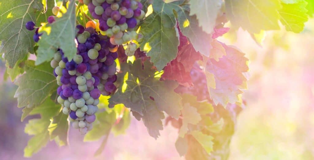 ideal wine company - grapevine